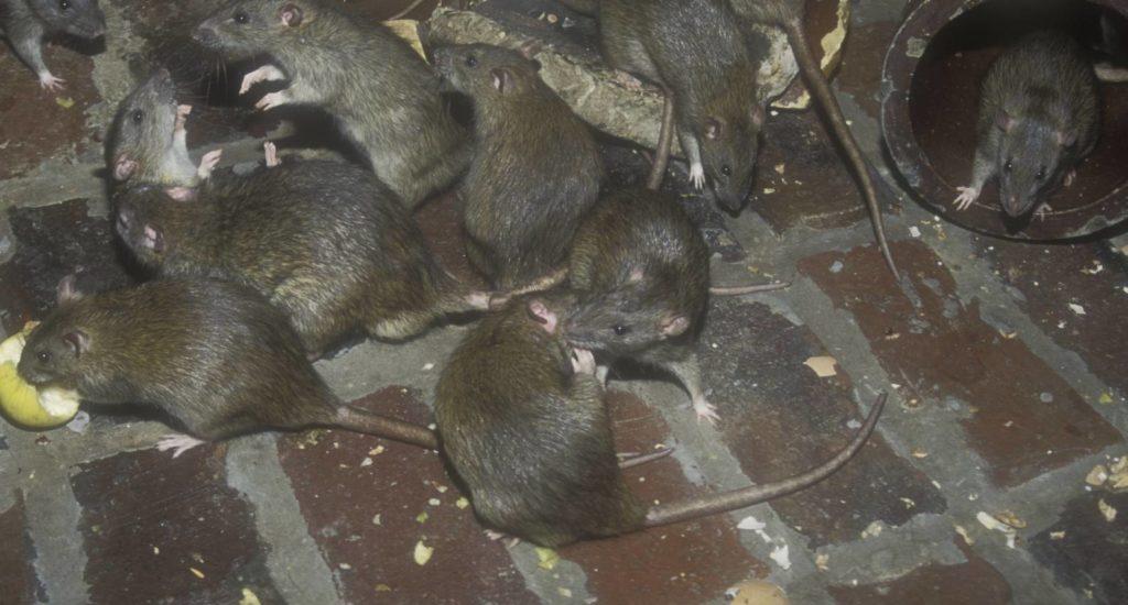 уничтожение крыс в Старой Руссе